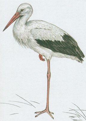 Vzhledem ke své velikosti je tento pták vcelku těžkopádný